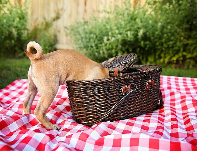 dog with a picnic basket